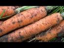Правила посева моркови под зиму