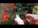 Как правильно черенковать хризантемы
