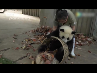 Watch_ giant pandas create trouble as staff cleans their house