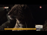 Государственная программа переселения леопардов началась в Приморском крае