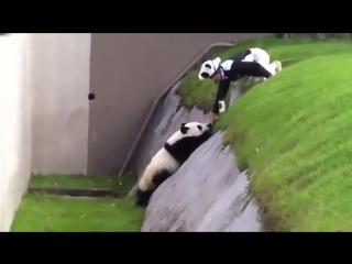 Панда хулиганит