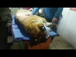 ВоВладивостоке поймали тигра, который двое суток бродил погороду иокрестностям. Новости. Первый канал