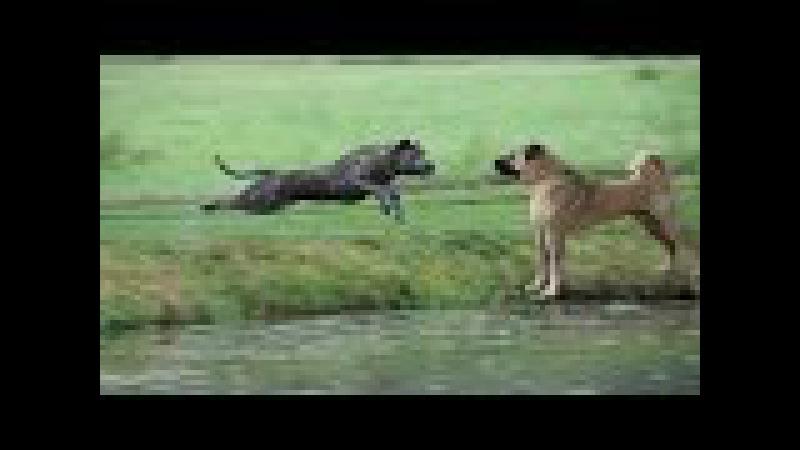 PRESA CANARİO vs KANGAL About ►► Köpek Dövüşleri ve Köpek Kavgası Hakkında ► Kangal Dog Kurt