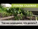 Голова садовая - Тля на Смородине, что делать?