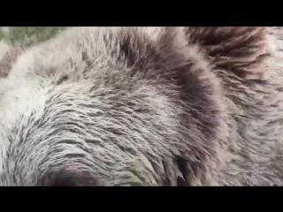Медведь-здоровяк играет в бассейне (6 sec)