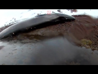 Мёртвый кит в Видяево