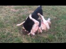 Собачий бой. Батырсын Гайтана 1г8м.58 кг Победа