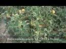 Cемена Китано. Выращивание томата KS 310 F1