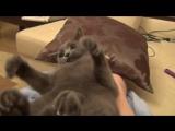 Кот гавкает