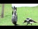 ворона-гимнастка