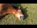 Лошади храпят