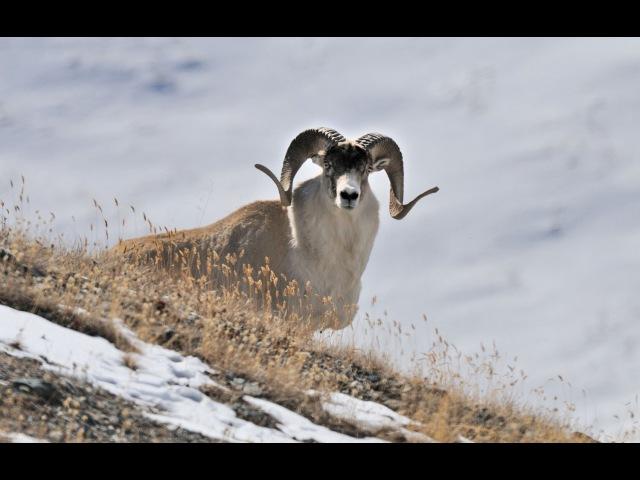Охота на горного барана Марко Поло. Киргизия.