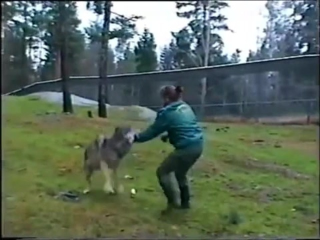 Wolf attack or Wolf hunting? · coub, коуб