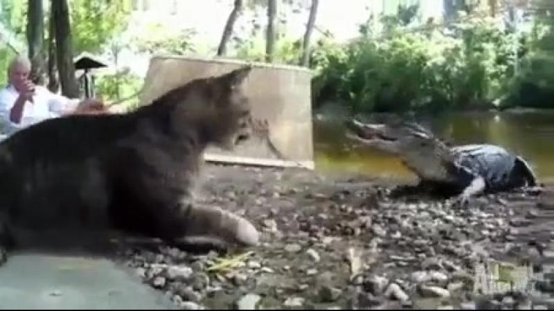 Кот и крокадил