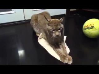 My Siberian lynx