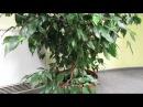 Почему ФИКУС Бенджамина сбрасывает листья Основные причины