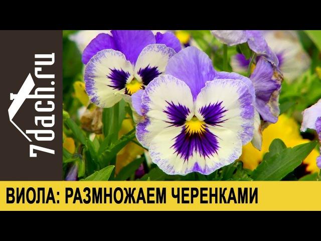 Виола (анютины глазки): размножаем черенкованием - 7 дач