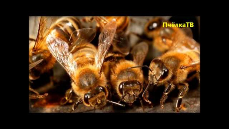 5 фактов о медоносной пчеле