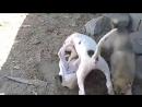 Бой щенков булли кутта