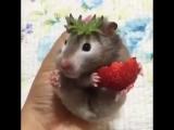 Hamster eating strawberries
