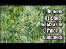 ПОЛЫНЬ от РАКА ПАРАЗИТОВ и многих БОЛЕЗНЕЙ Рецепты