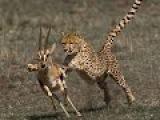 THE TOP 10  TOP 10 CHEETAH ATTACKS  Cheetah vs Crocodile, Lion, Wild Boar, Zebra, Gazelle...