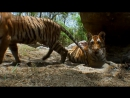 04 .Тигр Шпион джунглей