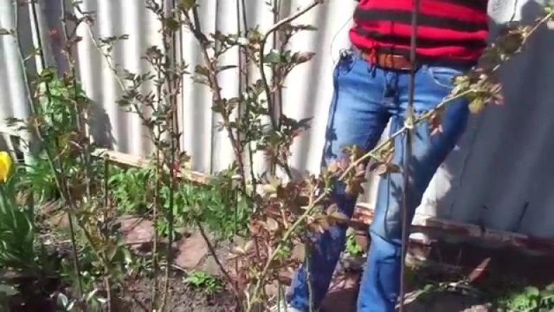 Плетистые розы посадка и уход видео