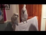 Какаду танцует и поёт под Элвиса Пресли _ Funny cockatoo dancing Elvis Presley s