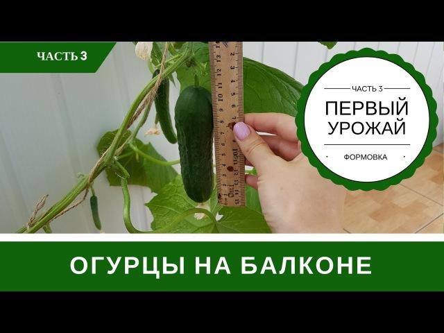 Огурцы На Подоконнике Первый Урожай Формирование Куста