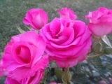 Апрельский день, церцис, розы, ромашка садовая, лаванда, Андалусия, 07042016