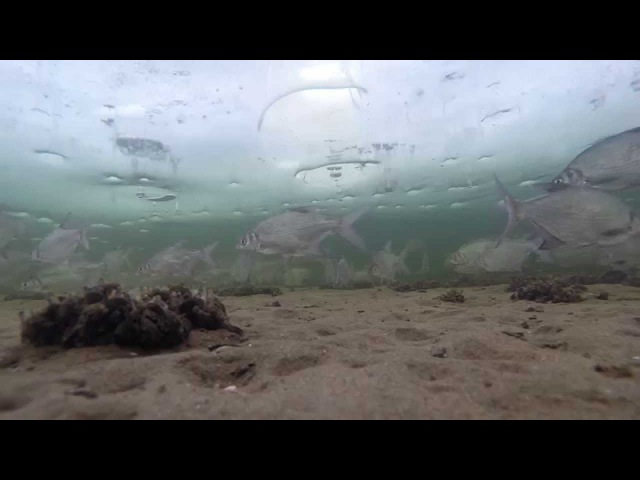 Подводная съёмка на зимней рыбалке. Целый косяк белой рыбы: подлещик, густера, с ...