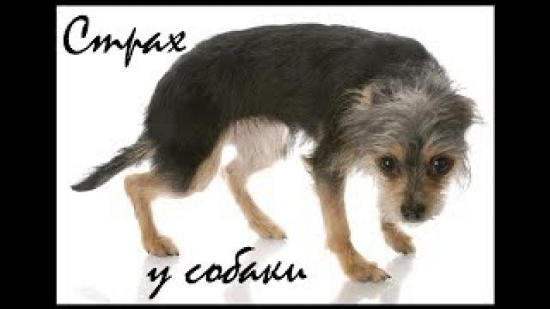 Страх у собаки