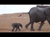Did the herd reject this baby elephant