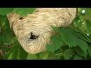 Гнездо  ос  Пятнистых  в  США   栗子樹上的大蜂巢