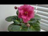 Фиалка. Первое цветение фиалки сорта Цветочный водопад селекционера Елены Корш ...