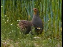 Rebhuhn - Perdix perdix - partridge