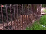 Зоозащитники спасают от голодной смерти льва, запертого в клетке