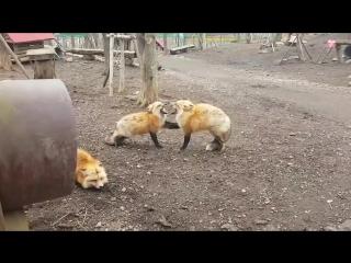 Лисы ссорятся