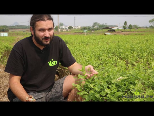 Плантации Молихуа жасмина в провинции Гуанси