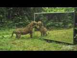 leopard VS mirror What a great seducer! - panth