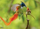 Birds-of-paradise national geographic HD