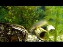 полиптерус сенегальский, дельгези и карликовый змееголов