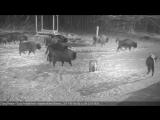 Зубры отразили нападение волков в Беловежской пуще