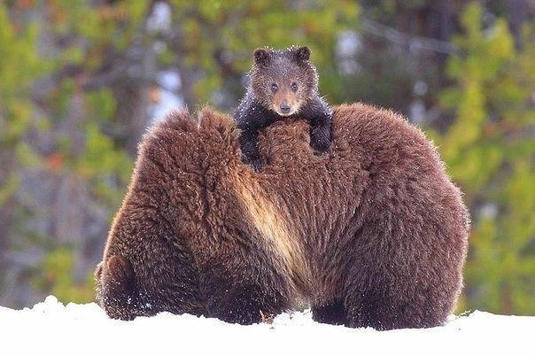 Медвежонок с мамой.