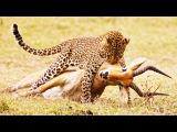 10 Most Amazing Leopard Attacks including Leopard Killing Baboon, Zebra, Deer, Porcupine, Cheetah