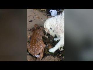 История чудесного спасения олененка собакой покорила пользователей Интернета