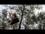Спил Деревьев Бензопилой. 30-ти метровый тополь.
