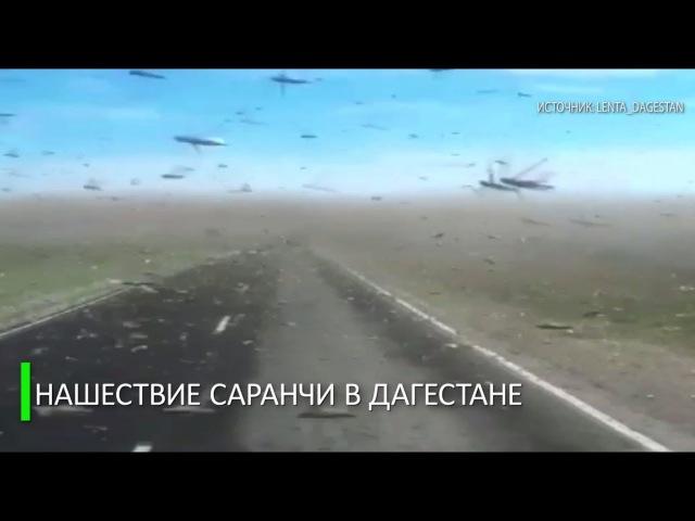 Зловещее нашествие саранчи в Дагестане попало на видео