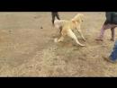 Efsane zihni torunu şimar oğlu aslan ankara bagladan cesur
